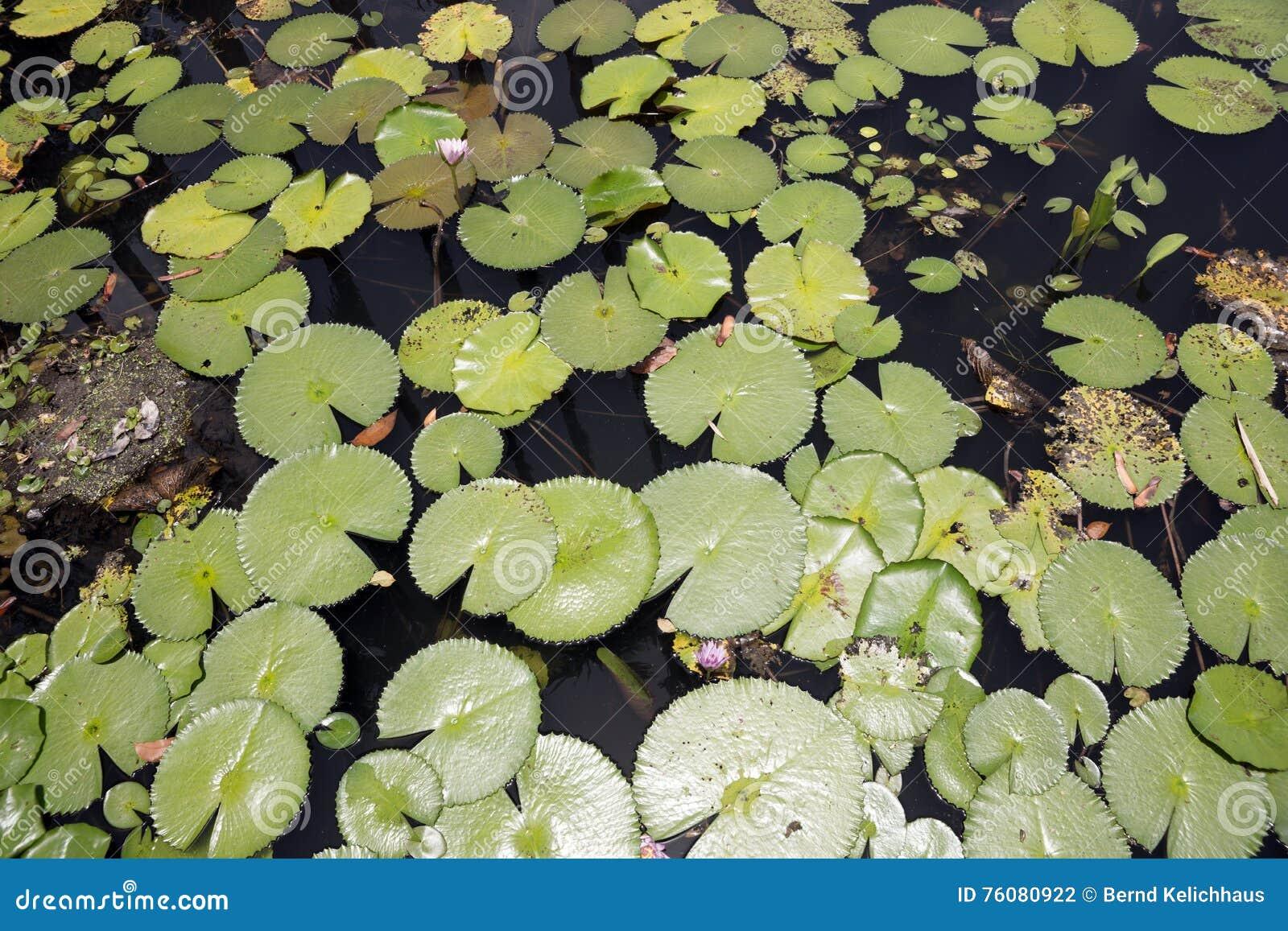 Les détails des feuilles de lotus au-dessus de l eau