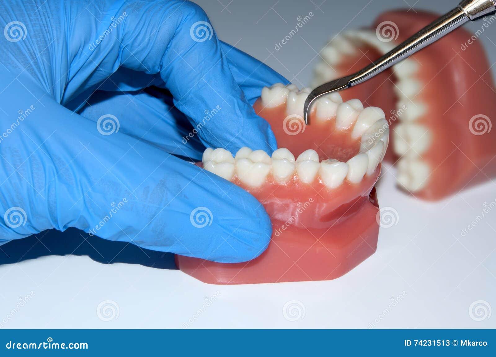 Les dents dentaires d exposition de main de dentiste modèlent la mâchoire dans le laboratoire