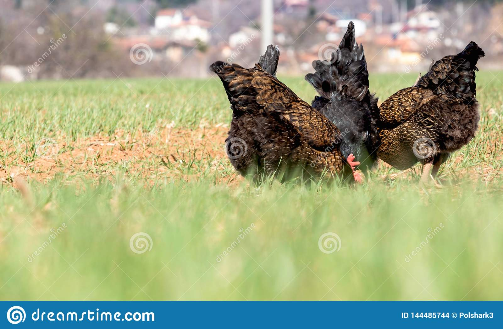 Les dos du poulet mignon