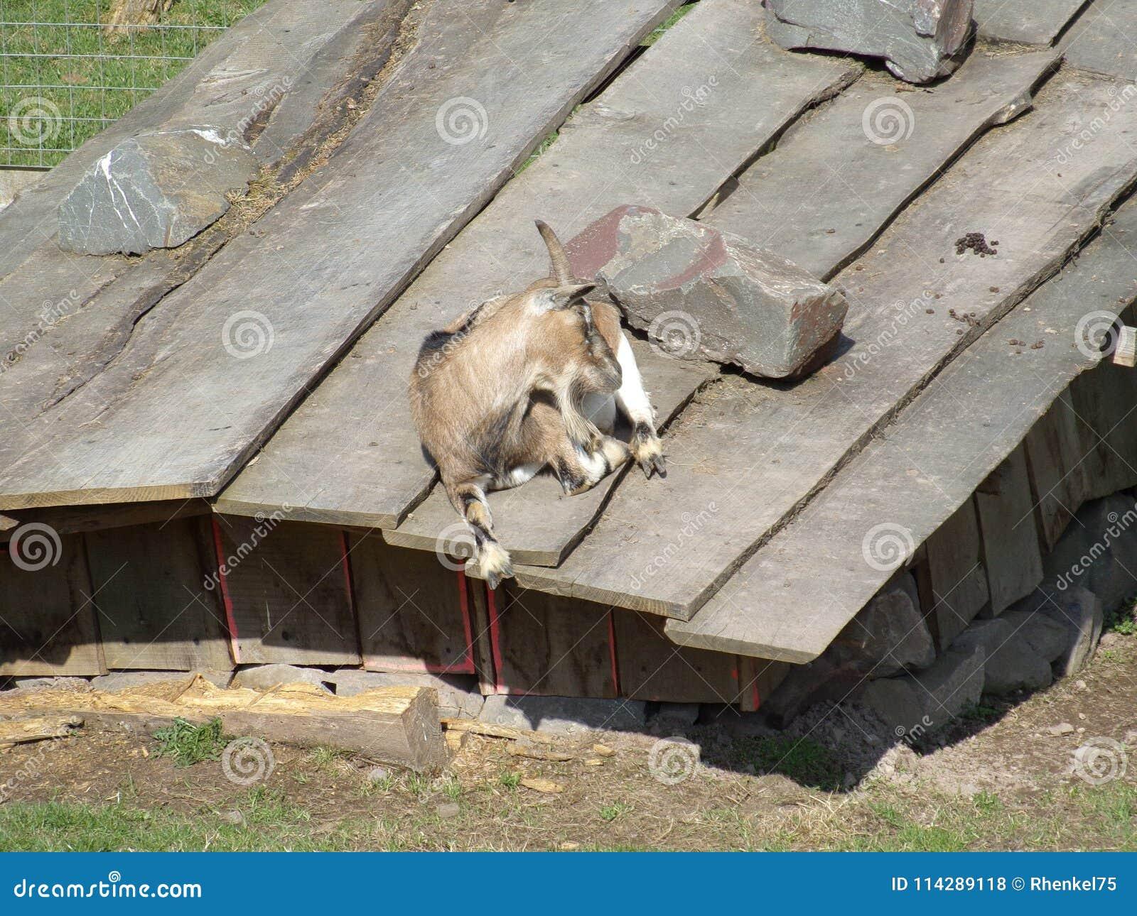 Les eines de DEM Dach de forces d appoint de Ziege kleinen le bzw de stalles Unterstand/chèvre sur le toit d une petite écurie