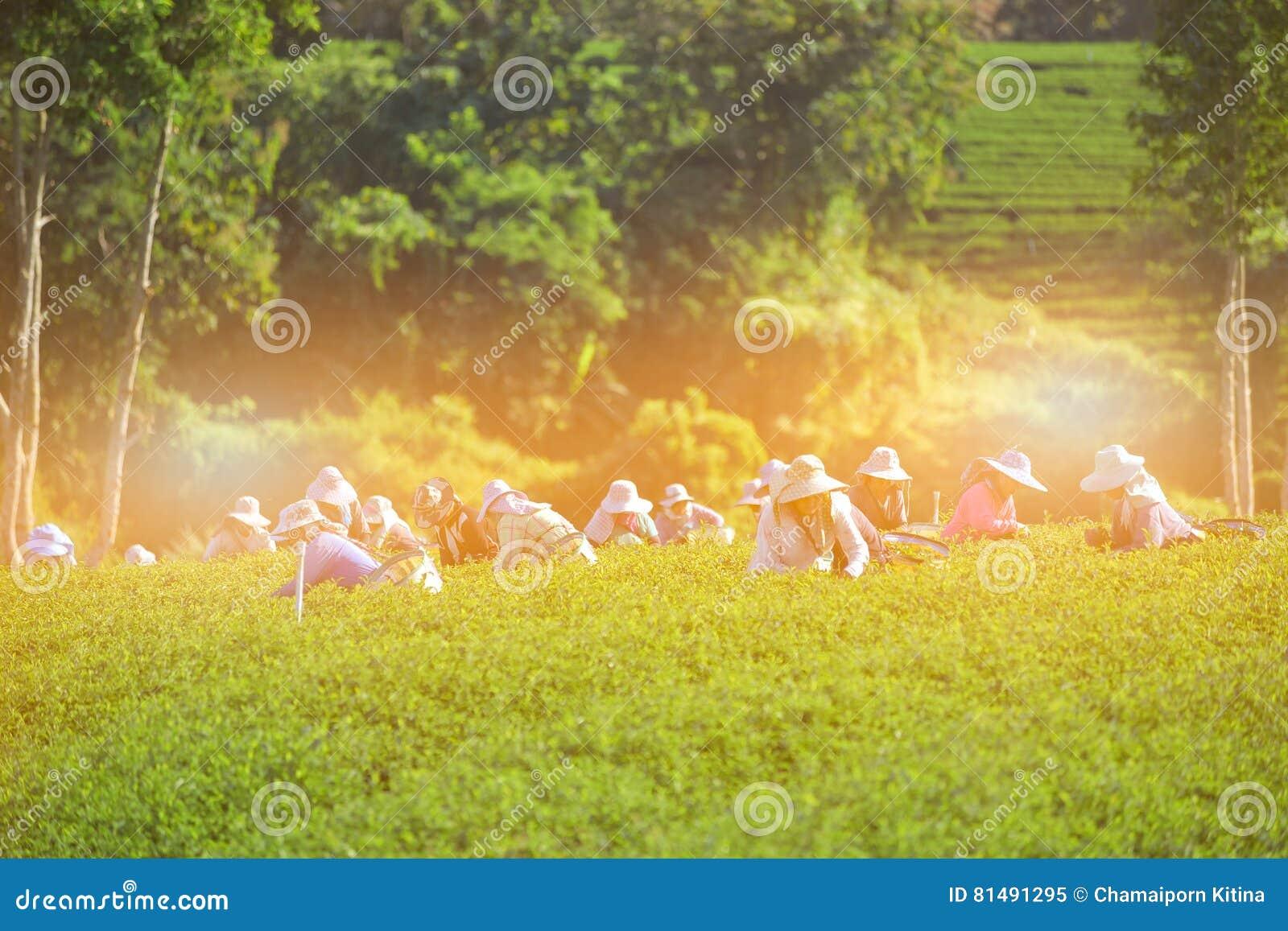 Les femmes rassemblent des feuilles de thé sur la plantation de thé