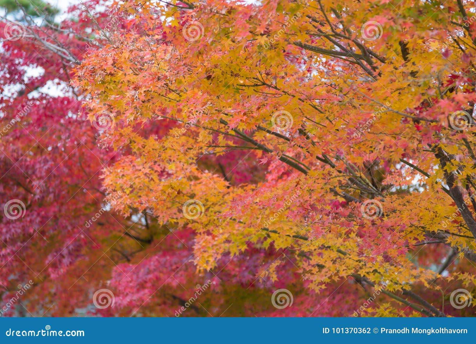 Les feuilles d érable colorées sur l arbre pendant l automne assaisonnent