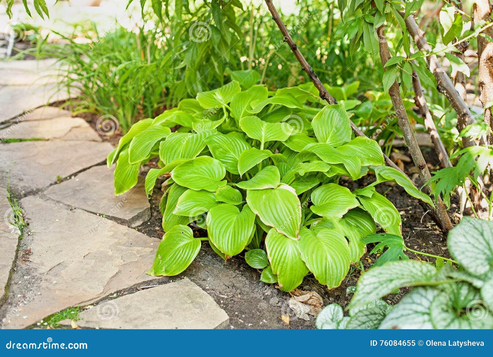 Les feuilles de Hosta se trouvent sur le chemin du grès