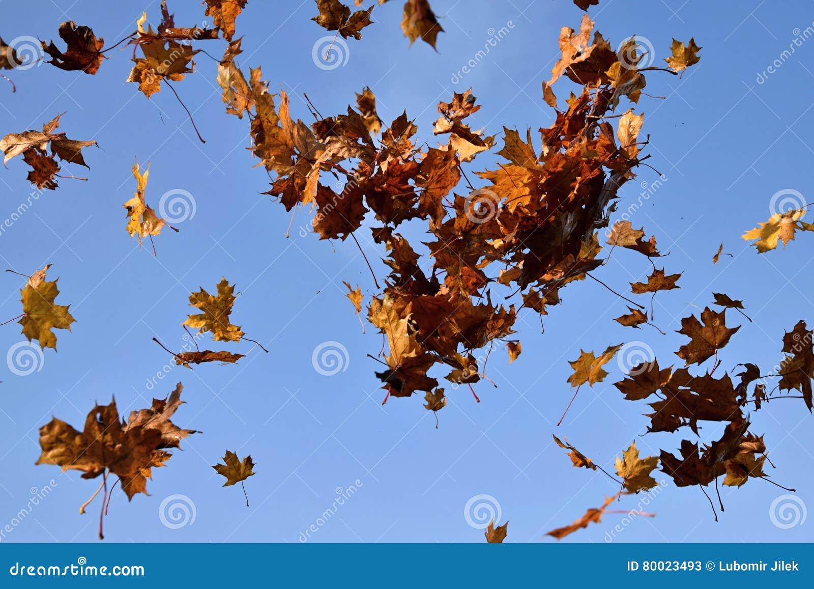 les feuilles en baisse d 39 un arbre d 39 rable l 39 arri re plan de ciel bleu image stock image. Black Bedroom Furniture Sets. Home Design Ideas