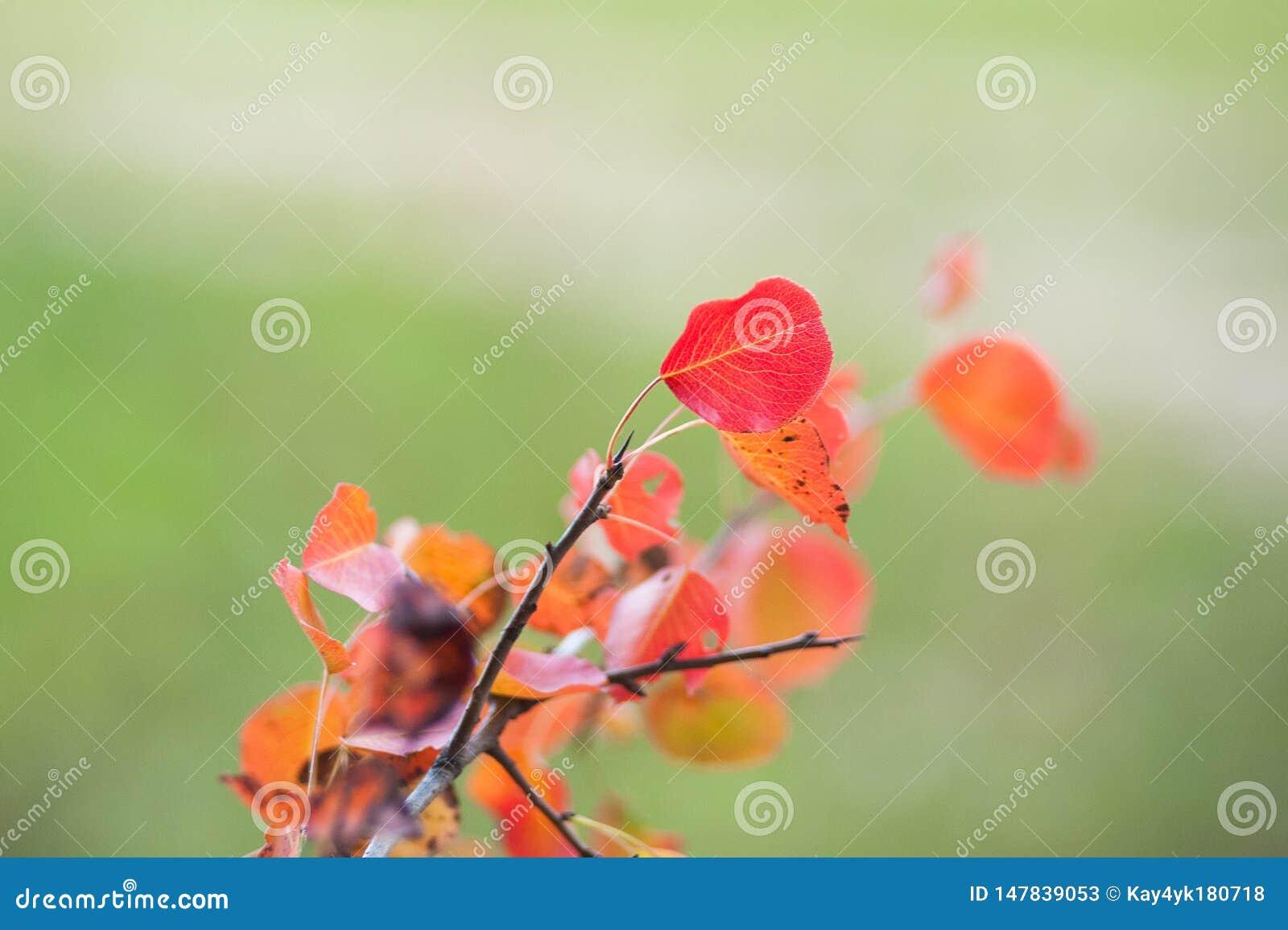 Les feuilles rouges se ferment dans le sauvage Branche des feuilles rouges de raisins d automne Feuillage de quinquefolia de Part