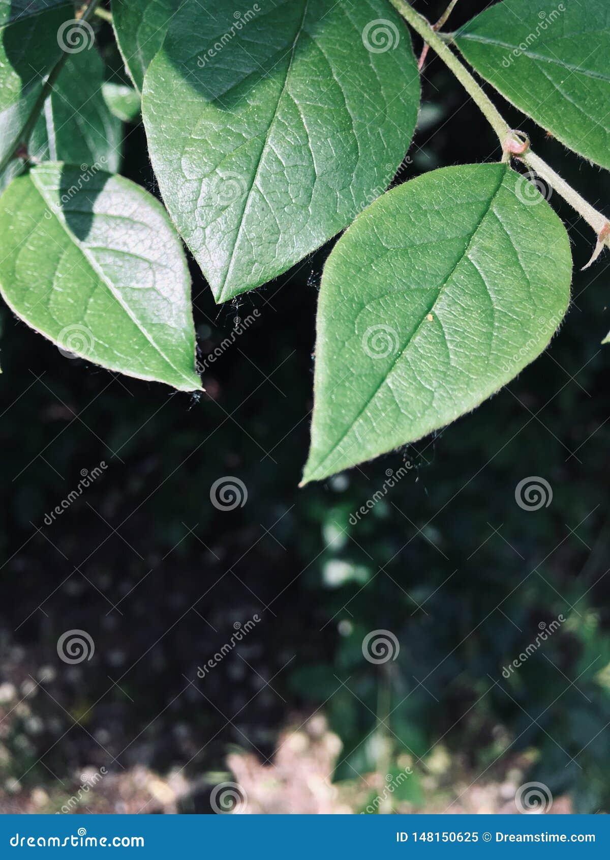 Les feuilles scintillent ainsi au soleil