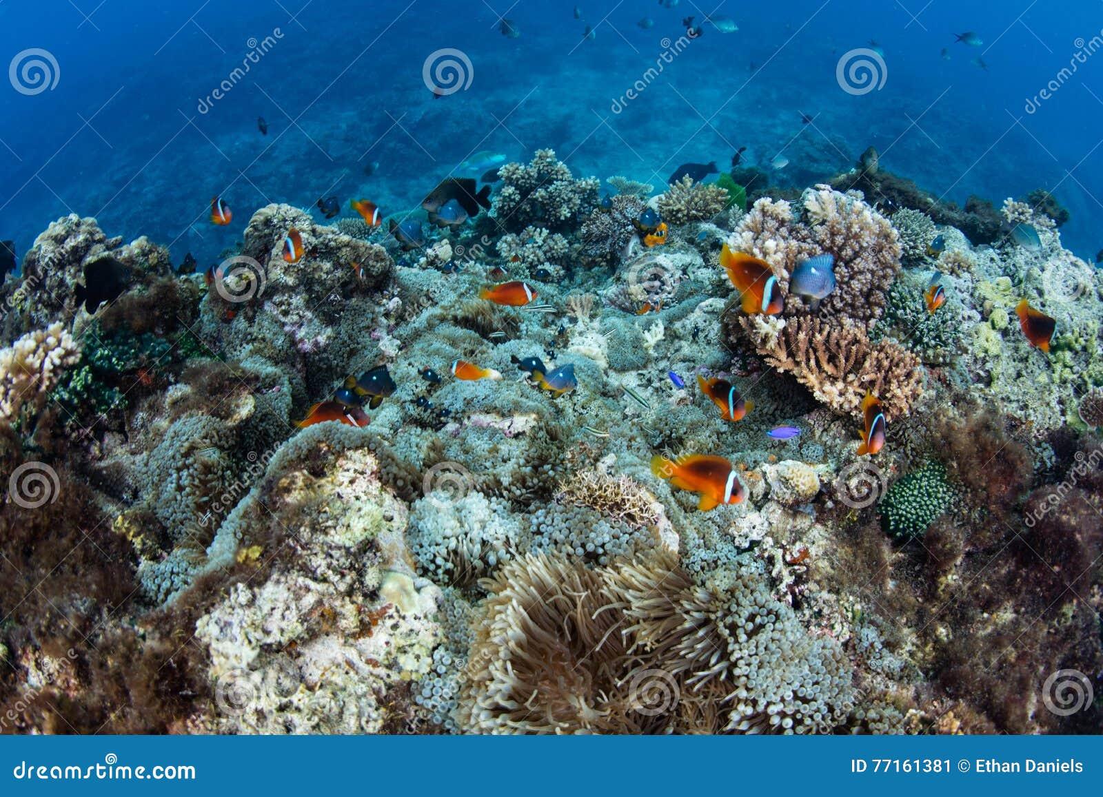 Les Fidji Anemonefish et Coral Reef