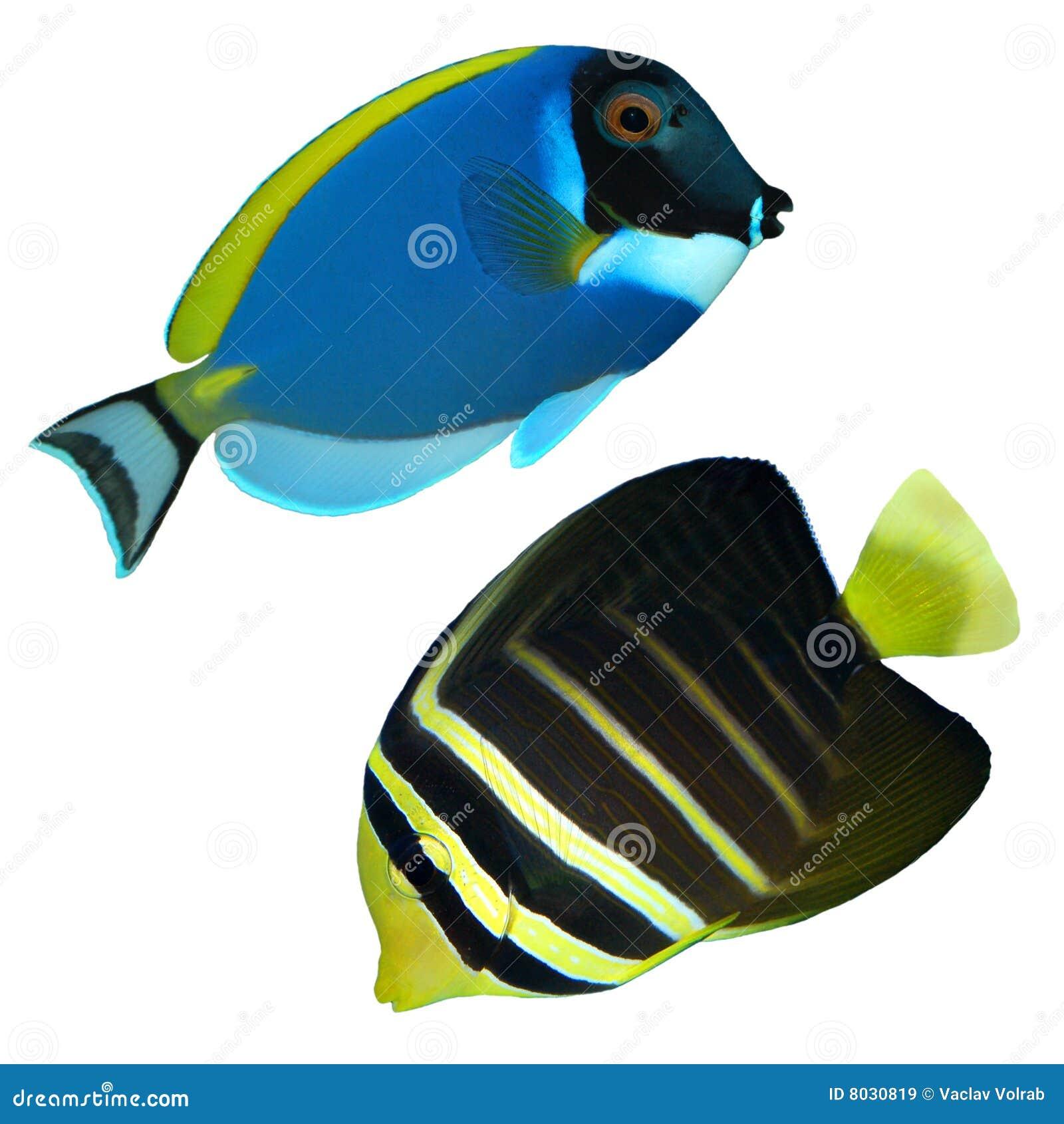 Les fishs ont isolé le récif tropical