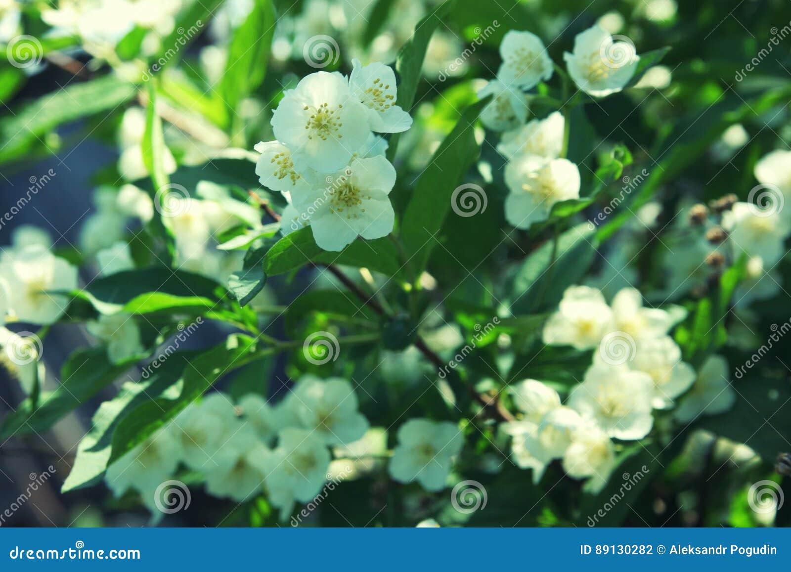 les fleurs blanches de la fin d'arbuste de jasmin photo stock
