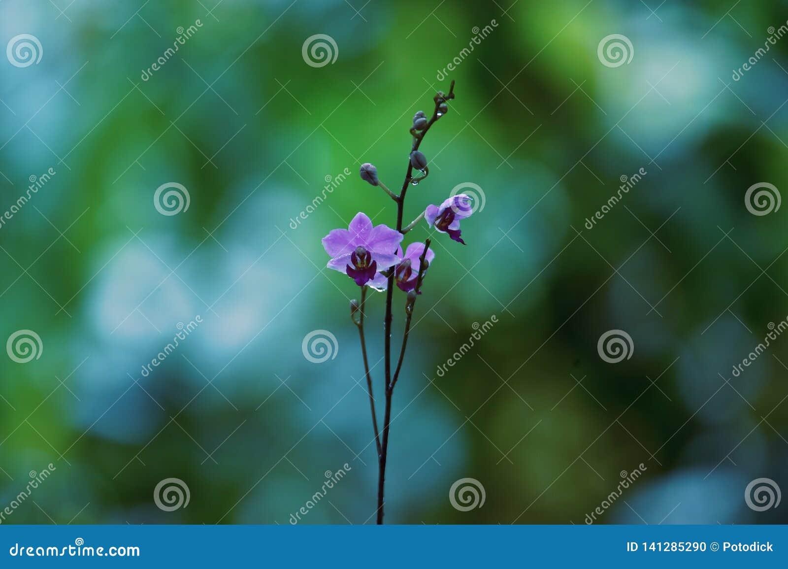 Les fleurs bleues violacées se développent et fleurissent