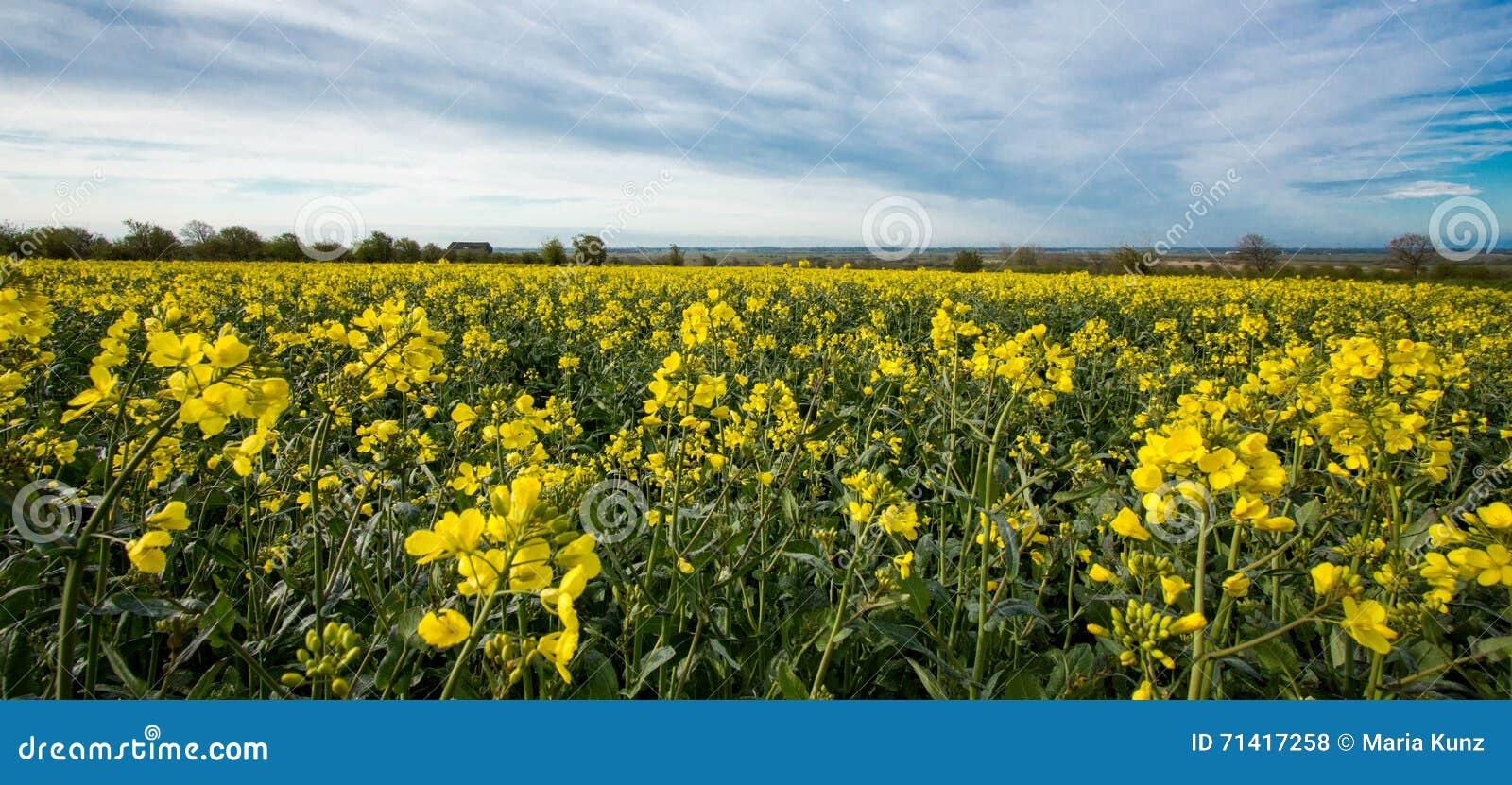 Les fleurs d huile en graine de colza mettent en place avec le ciel bleu et les nuages ! !