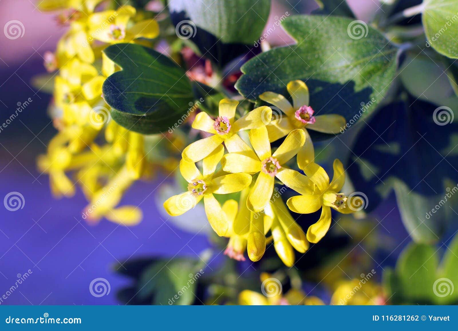 Les Fleurs De Cassis De Jaune En Fleur Photo Stock Image Du
