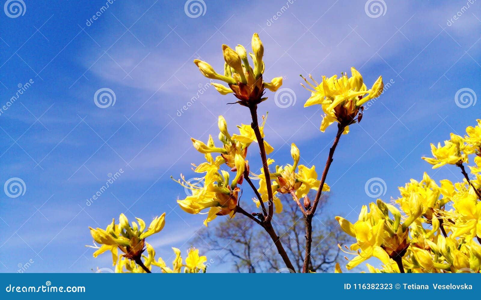 Les Fleurs De Forsythia Ont Fleuri En Mai - Photo Des Bourgeons Sous ...