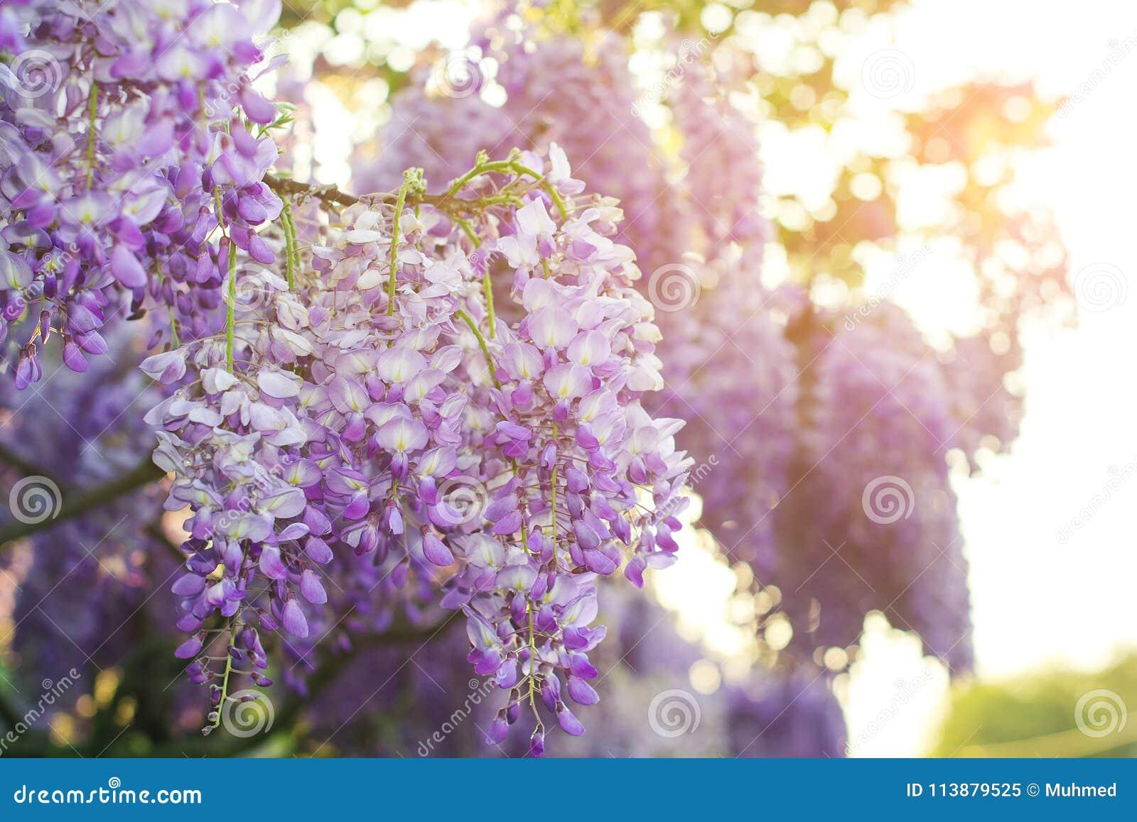 Les fleurs de glycine fleurissent dans le printemps Fond floral