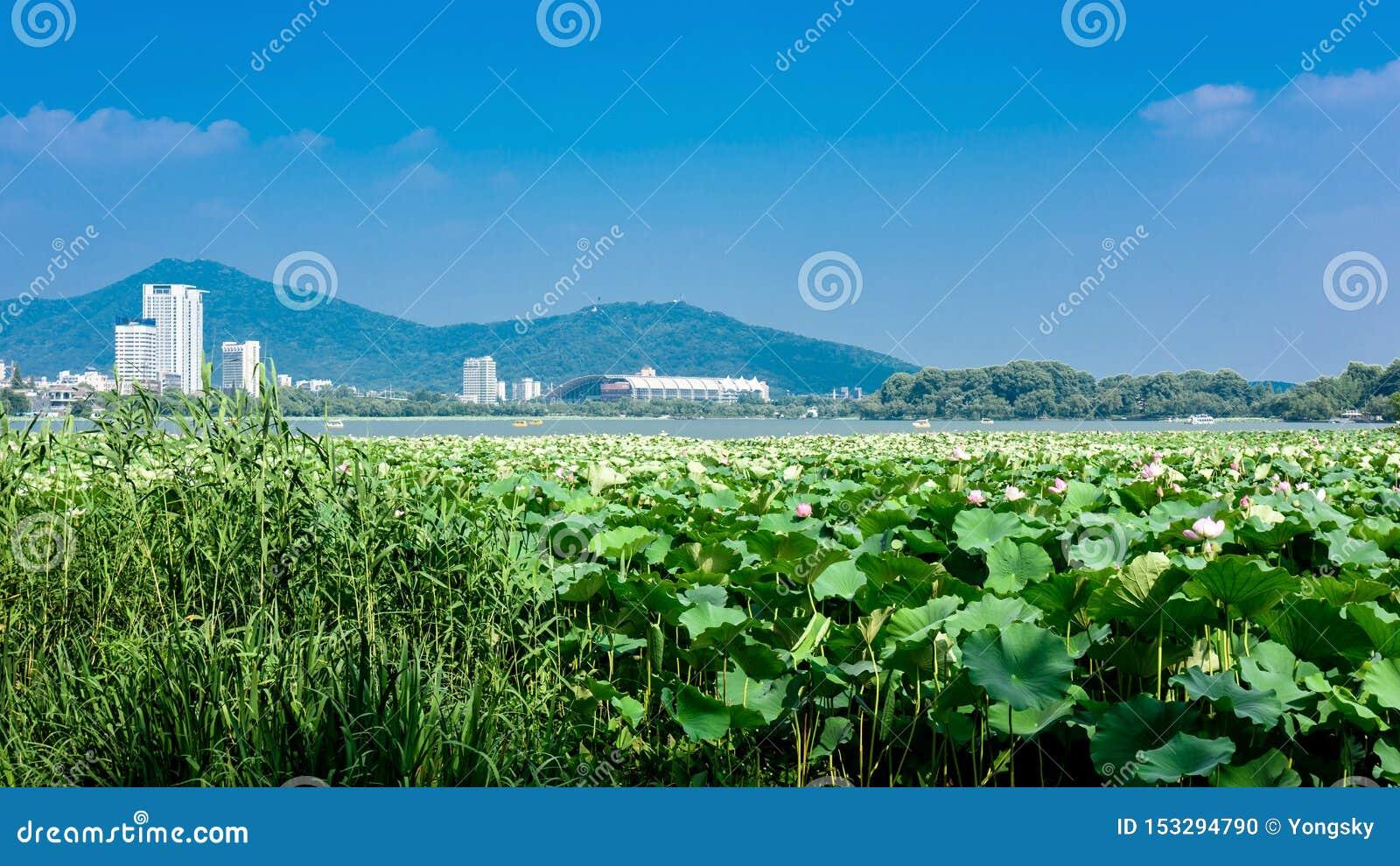 Les fleurs de Lotus fleurissent en parc de lac de xuanwu