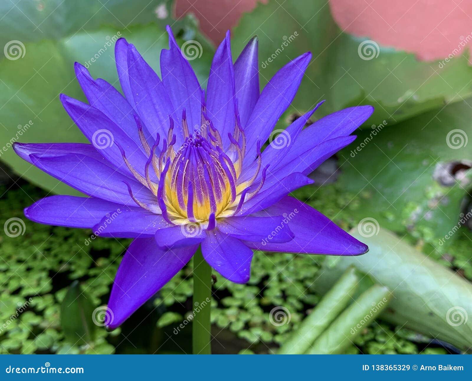 Les fleurs de Lotus fleurissent ( très beau ; une image ou un macro) en gros plan ;