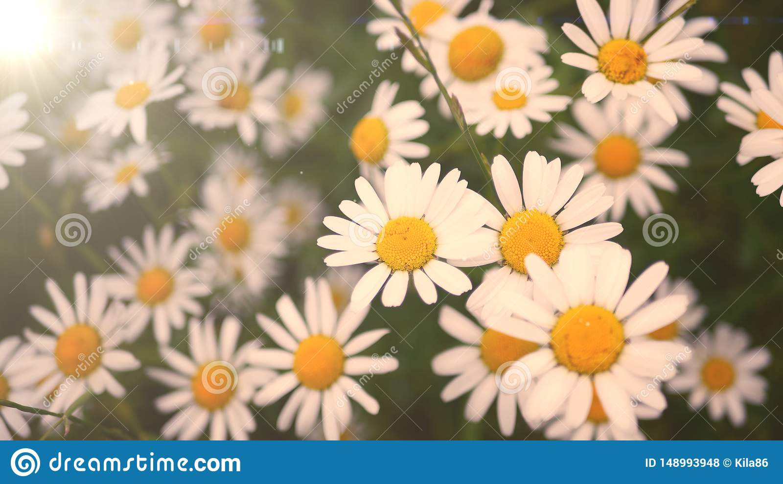Les fleurs de marguerites am?nagent en parc