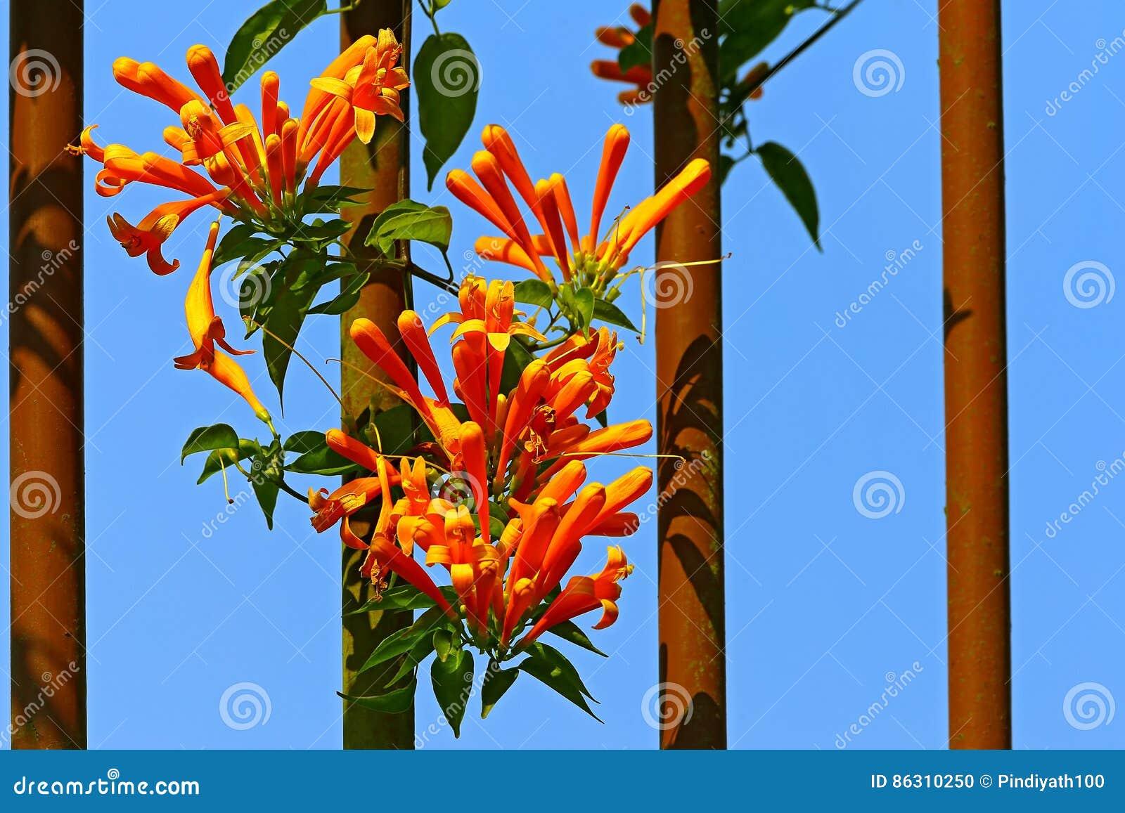 Les fleurs de plante grimpante de trompette d orange