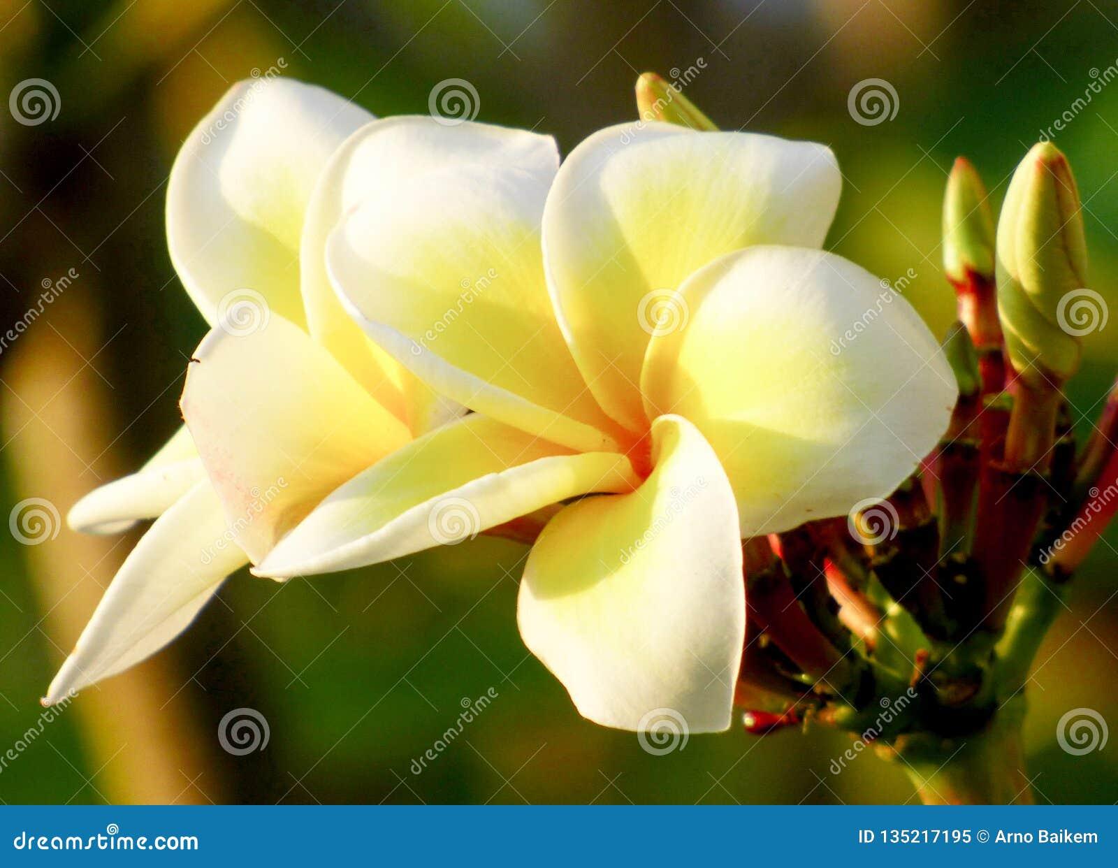 Les fleurs de Plumeria fleurissent avec élégance