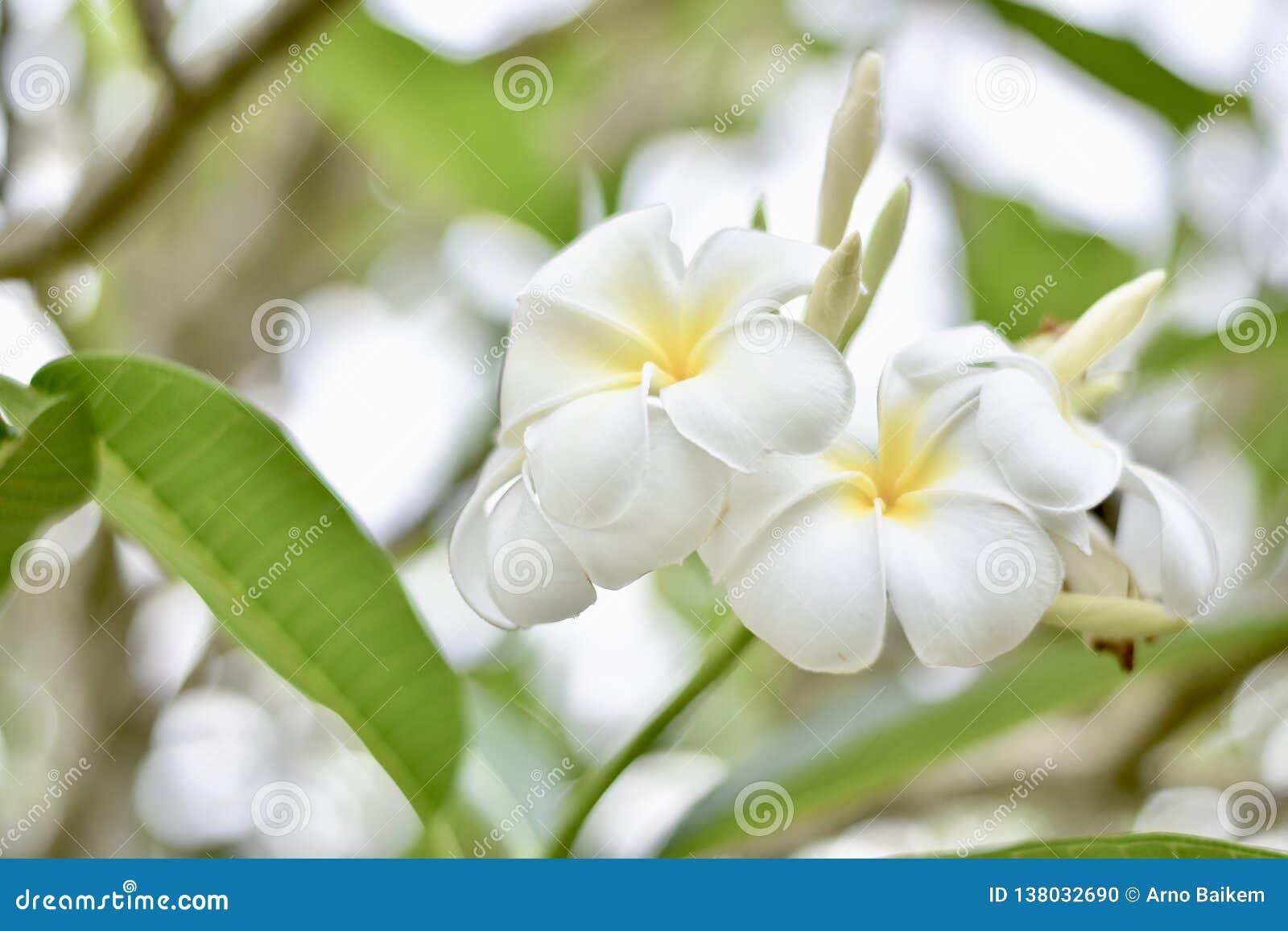 Les fleurs de Plumeria reçoivent la lumière pendant le matin