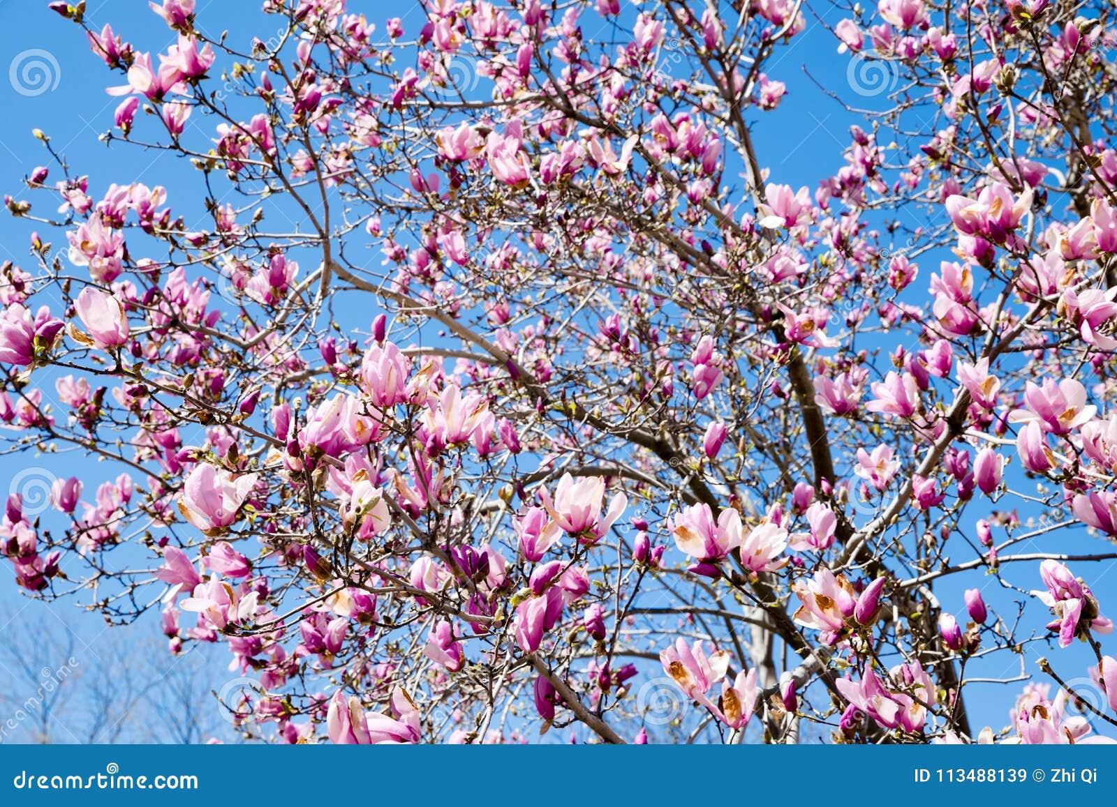 Les Fleurs Roses D Arbre De Fleur De Magnolia Se Ferment Vers Le