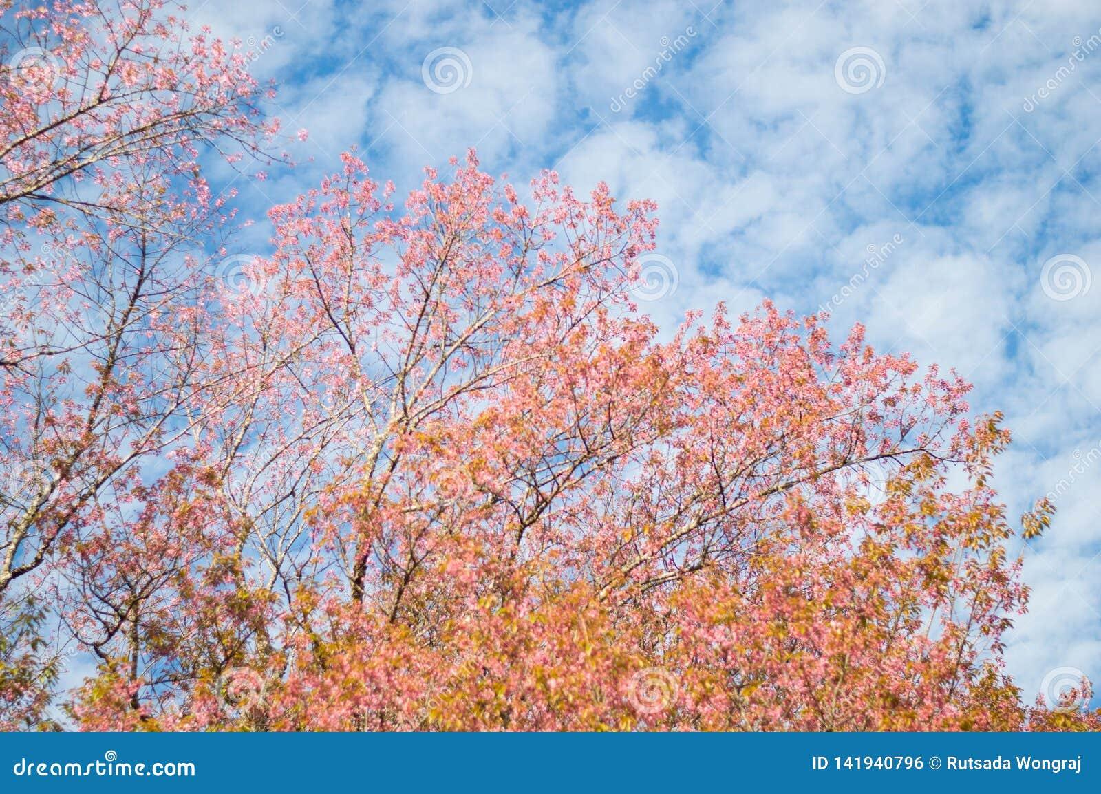 Les fleurs roses de cerasoides de Prunus fleurissent couleur