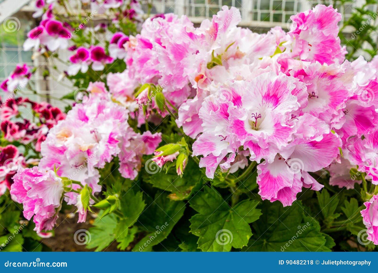 Super Les Fleurs Roses Et Blanches De Géranium, Se Ferment Photo stock  PN43