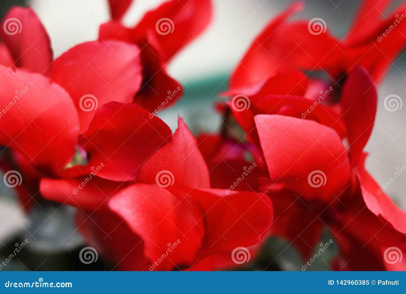 Les fleurs rouges de cyclamen se ferment