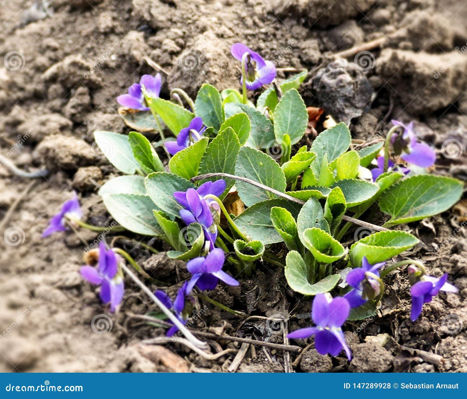 Les fleurs violettes de violettes fleurissent au printemps for?t