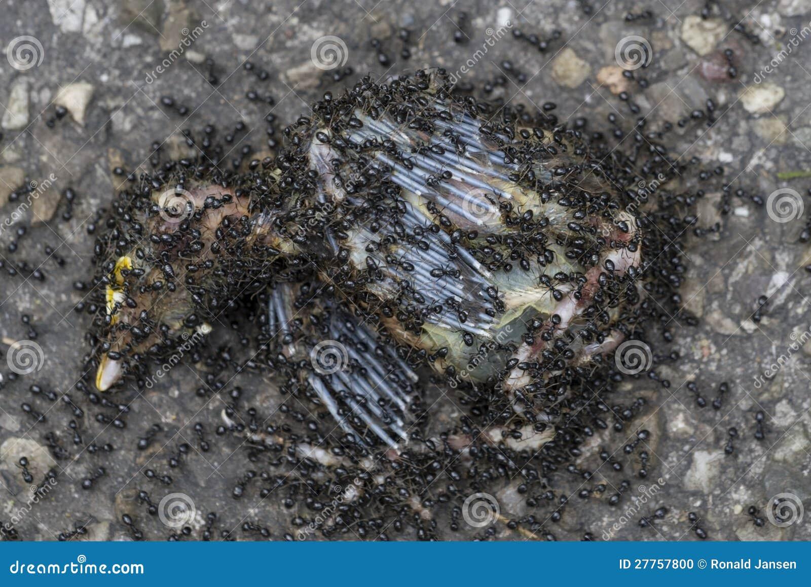 Les fourmis de Brown mangent l oiseau