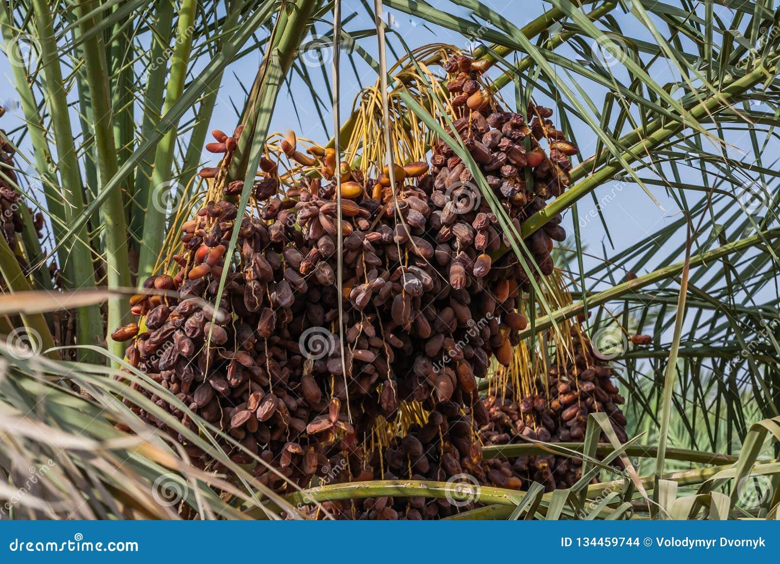 Les fruits d un palmier dattier