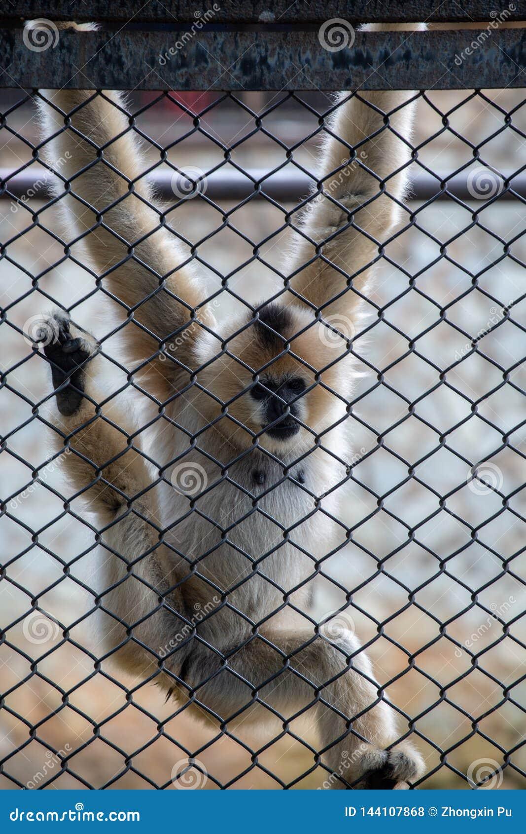 Les gibbons sont le nom général pour les animaux de primat Ils sont appelés pour leur longueur spéciale Les paumes sont plus long