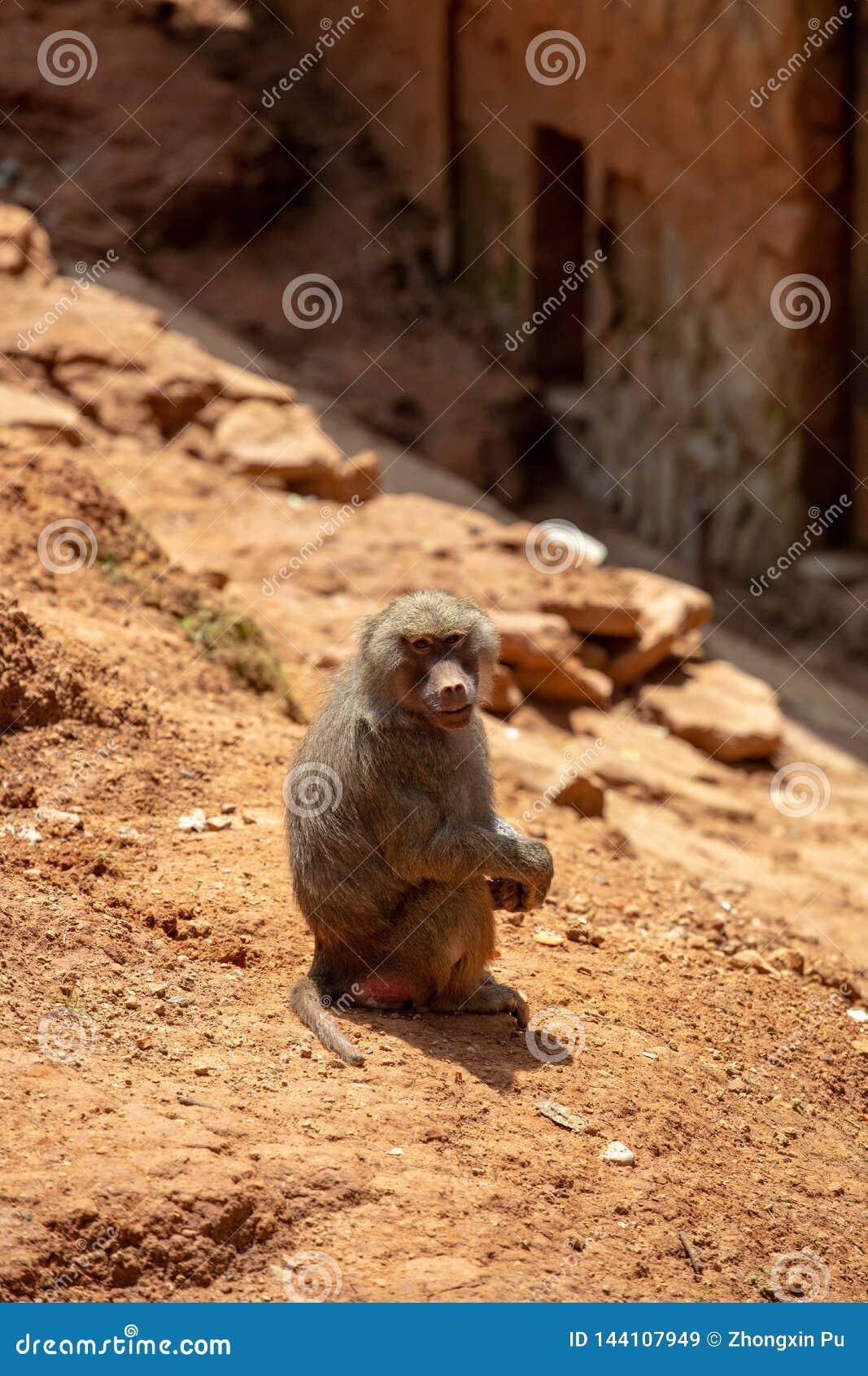 Les gibbons sont le nom g?n?ral pour les animaux de primat Ils sont appel?s pour leur longueur sp?ciale Les paumes sont plus long
