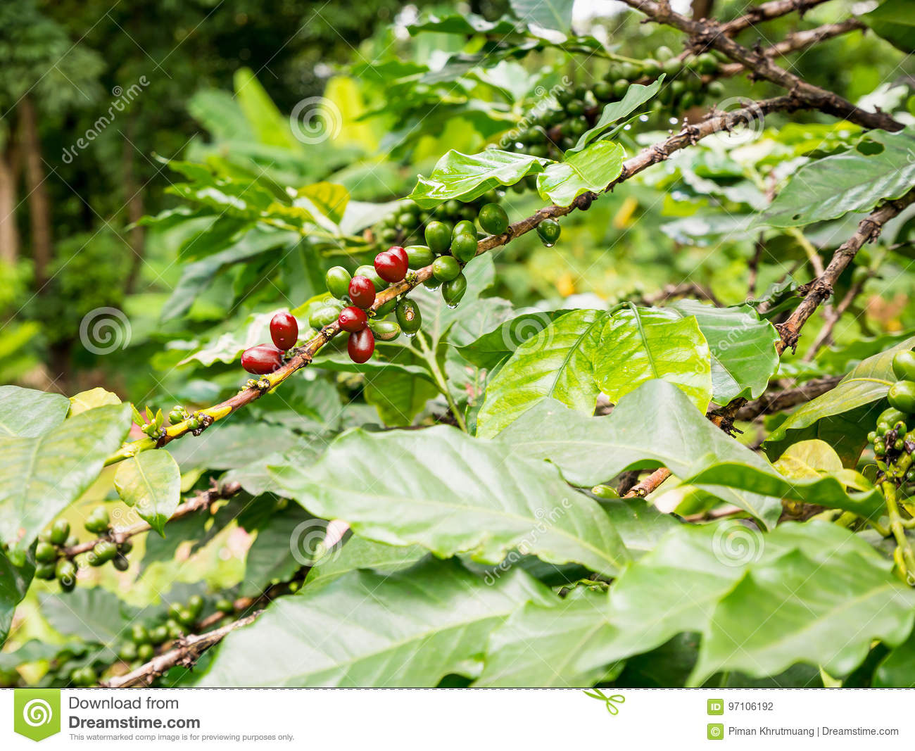 les grains de café en café plante l'arbre photo stock - image du
