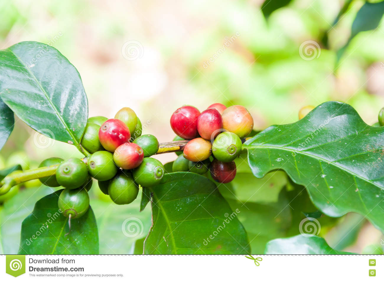 les grains de café frais en café plante l'arbre photo stock - image