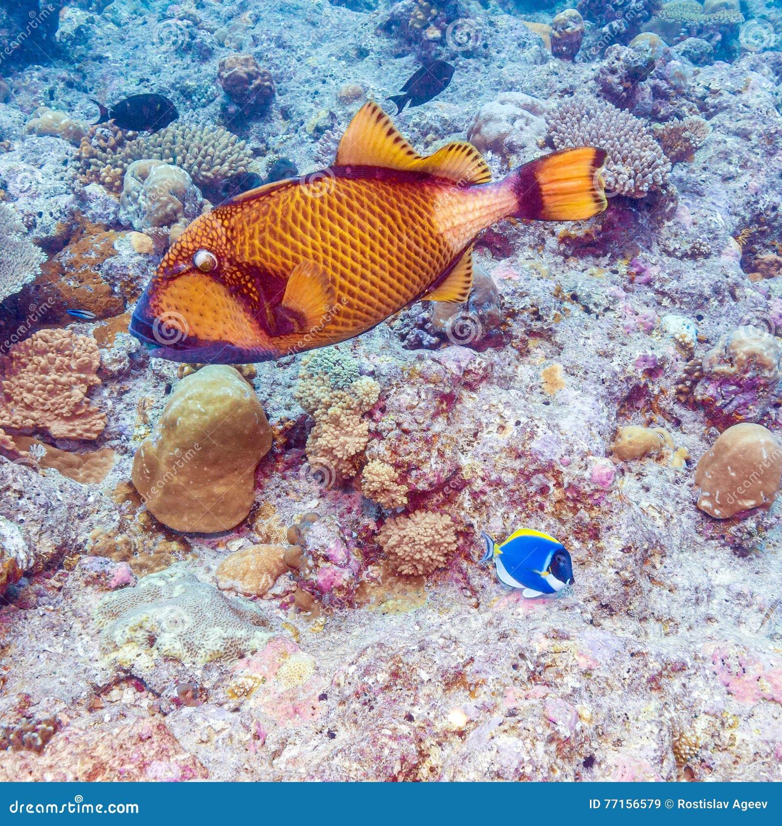 Les grands poissons de déclencheur s approchent des coraux, Maldives
