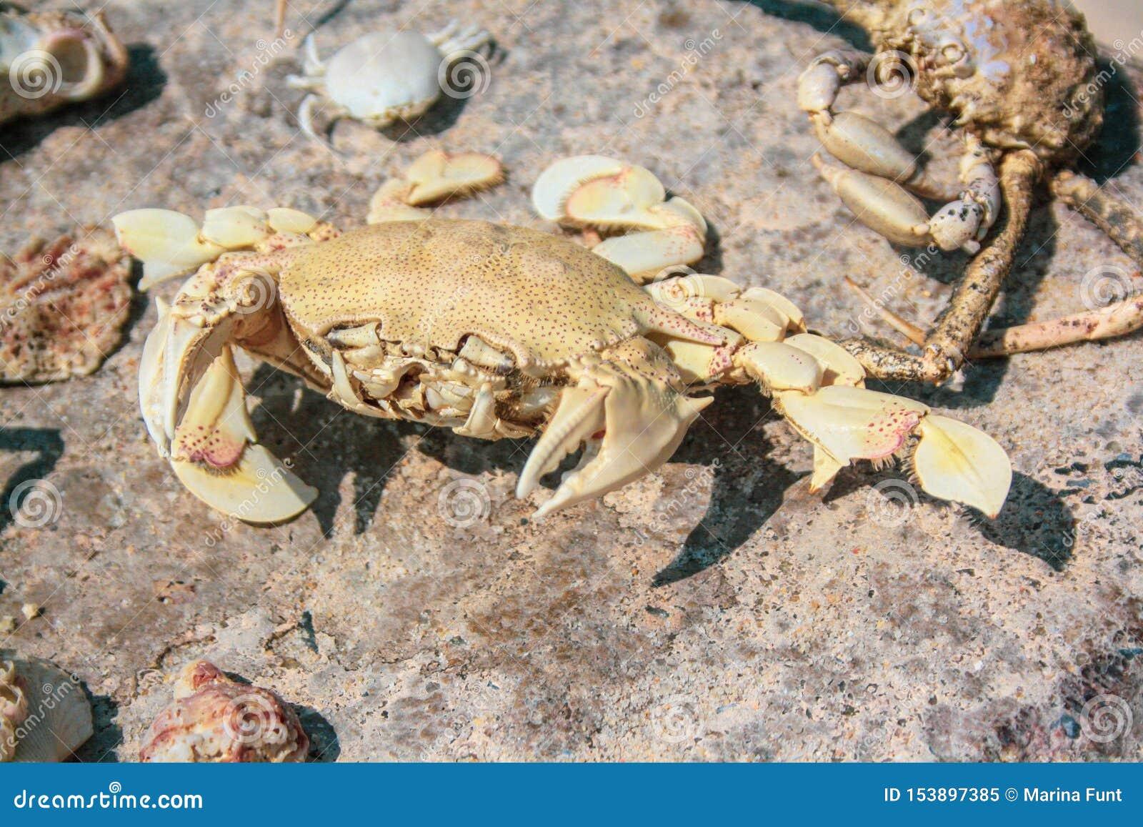 Les grands squelettes du crabe et les coquilles se trouvent sur une grande pierre