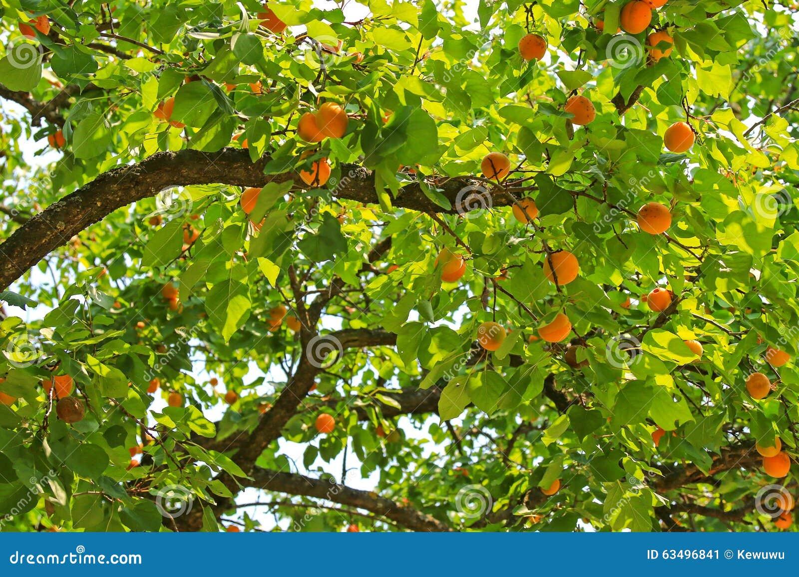 Les incidences d 39 un abricotier beaucoup portent des fruits pendant l 39 - Taille de l abricotier en video ...