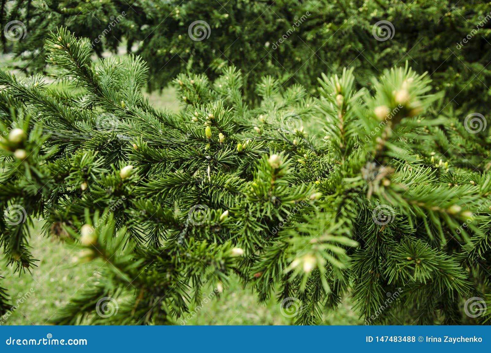 Les jeunes branches ont mangé les bourgeons impeccables et les jeunes aiguilles impeccables contre