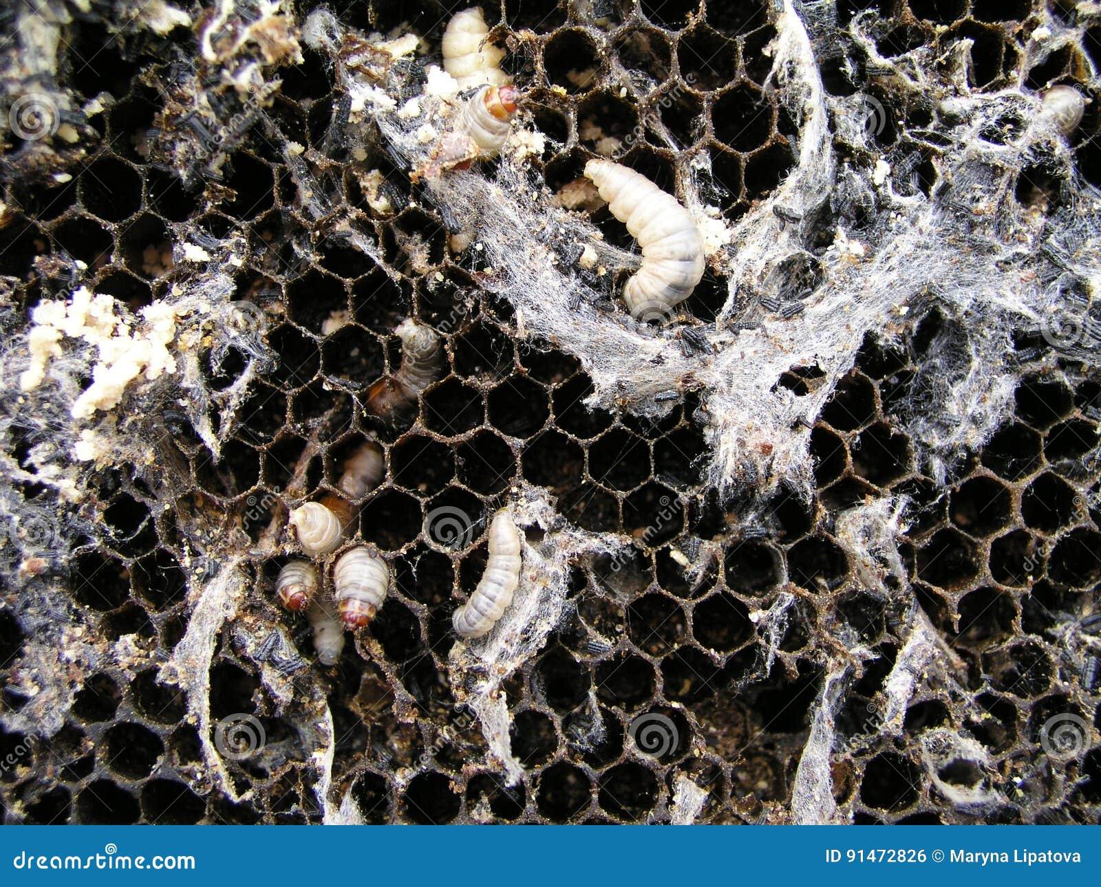 les larves de mite de cire sur un nid infect d 39 abeille la famille des abeilles est malade avec. Black Bedroom Furniture Sets. Home Design Ideas