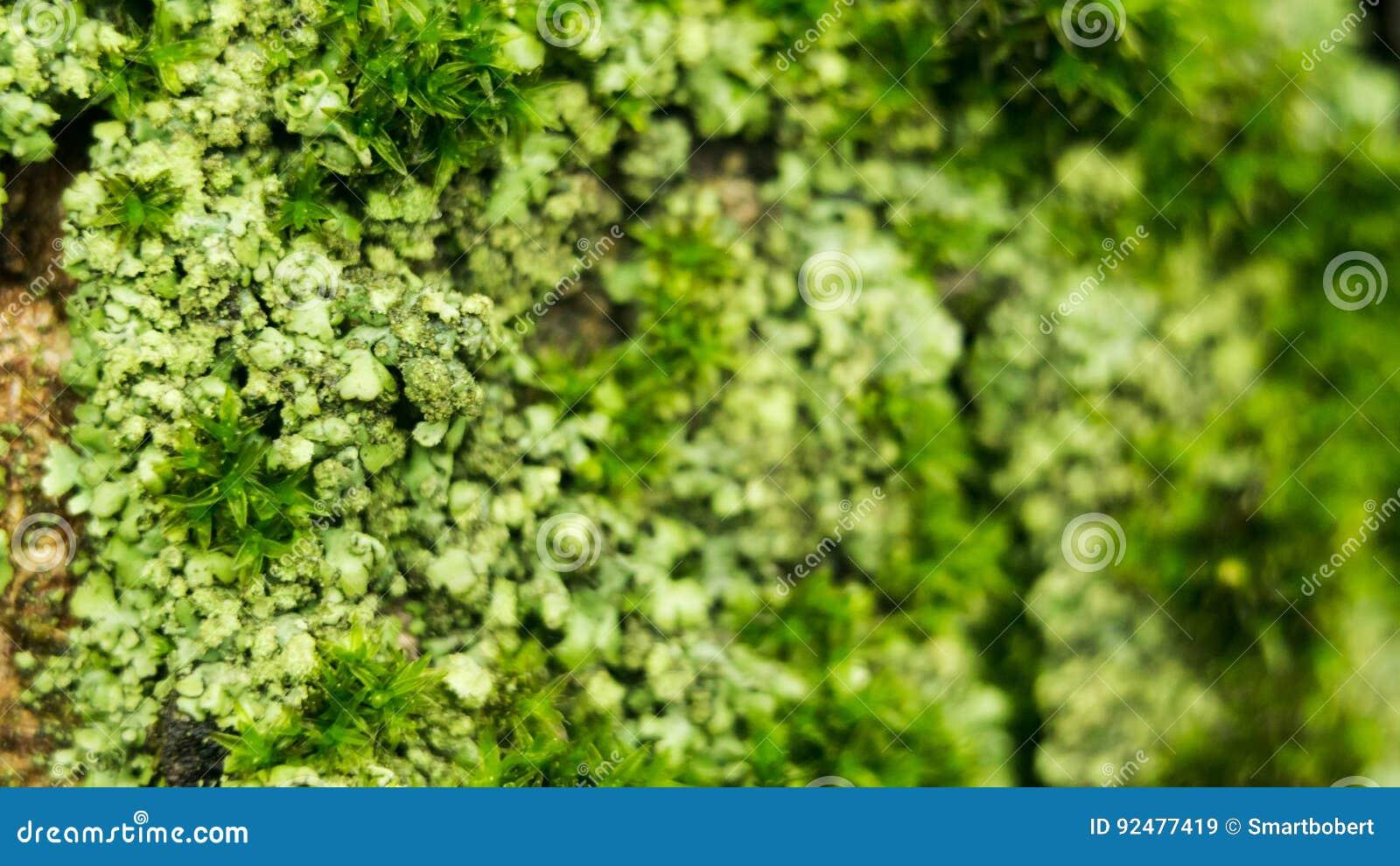 Les lichens sont les champignons et les algues symbiotiques Ils peuvent se développer sur les roches propres et former souvent su