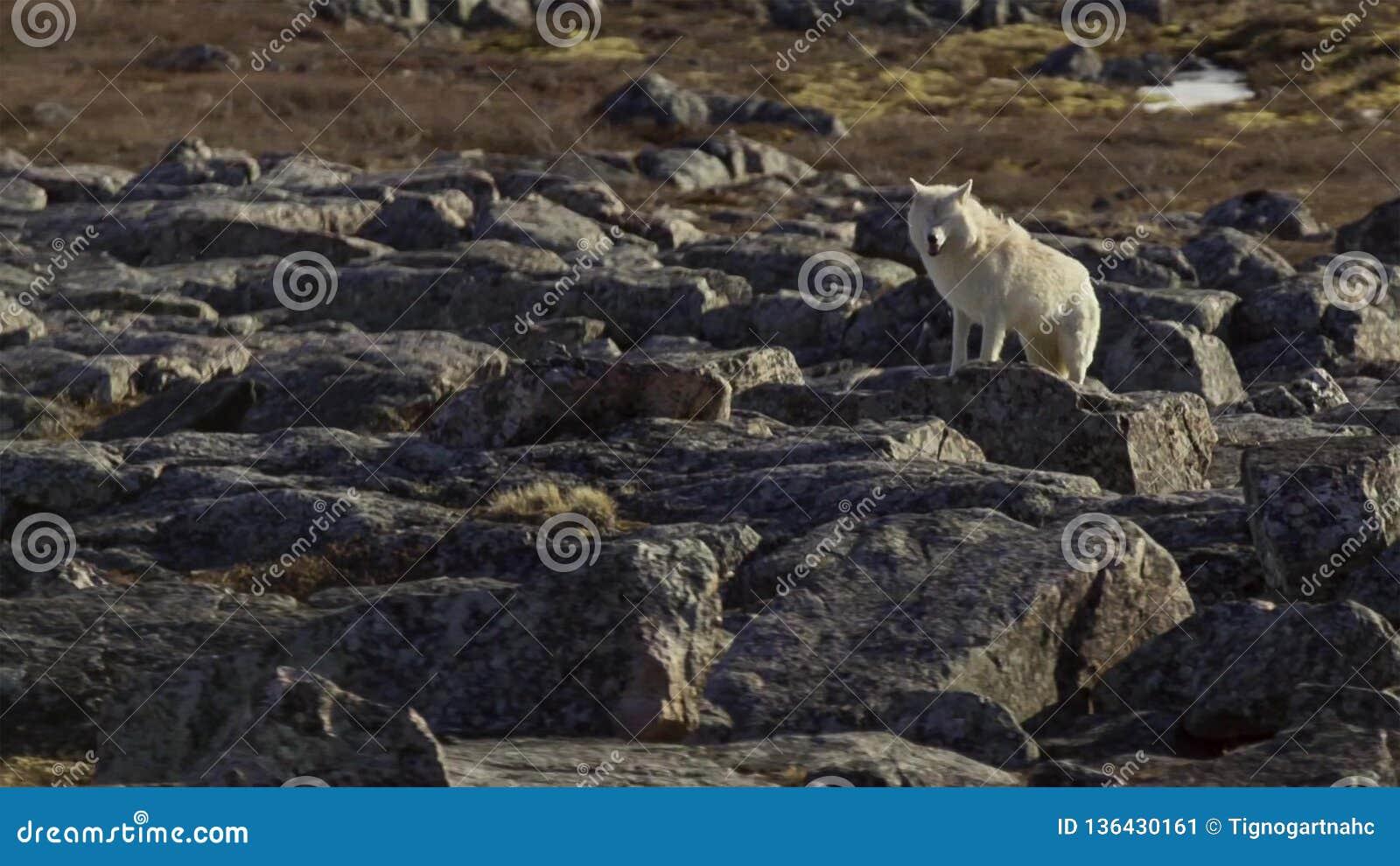 Les loups arctiques, le loup fonctionne au troupeau, essayant de rincer le faible ou le lent Canada du nord