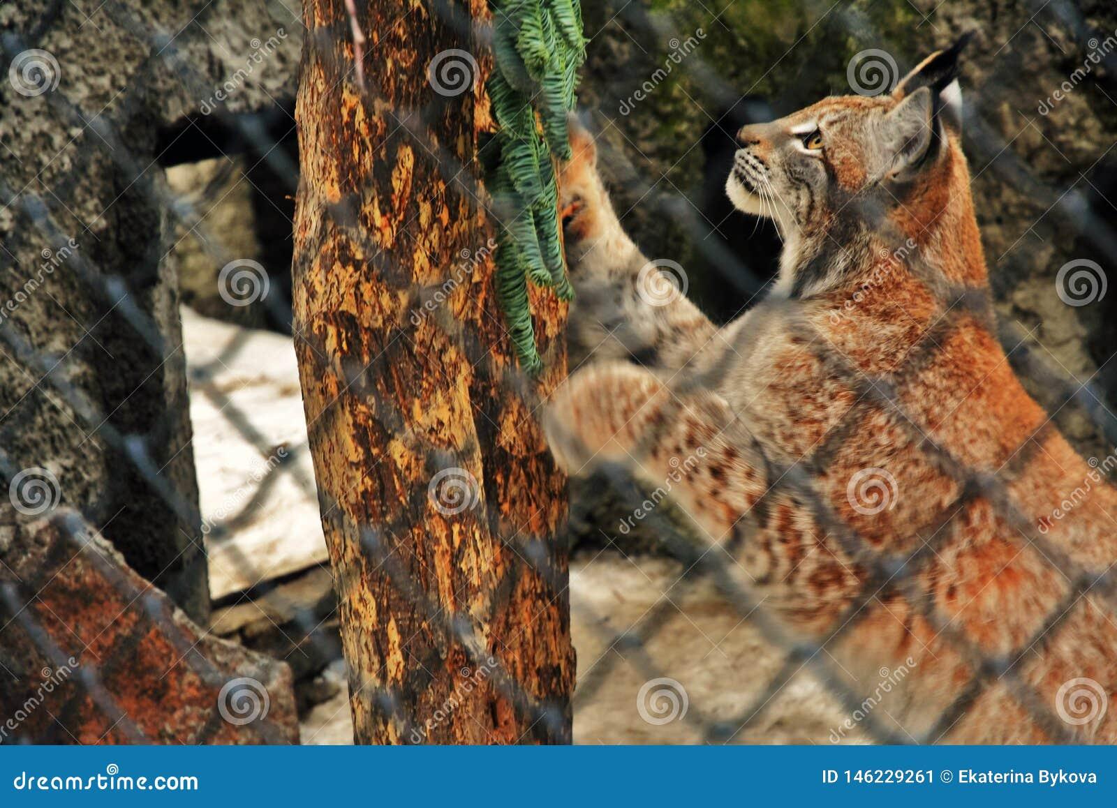 Les lyns d un lynx essaye de s élever sur un arbre et d échapper à la cage
