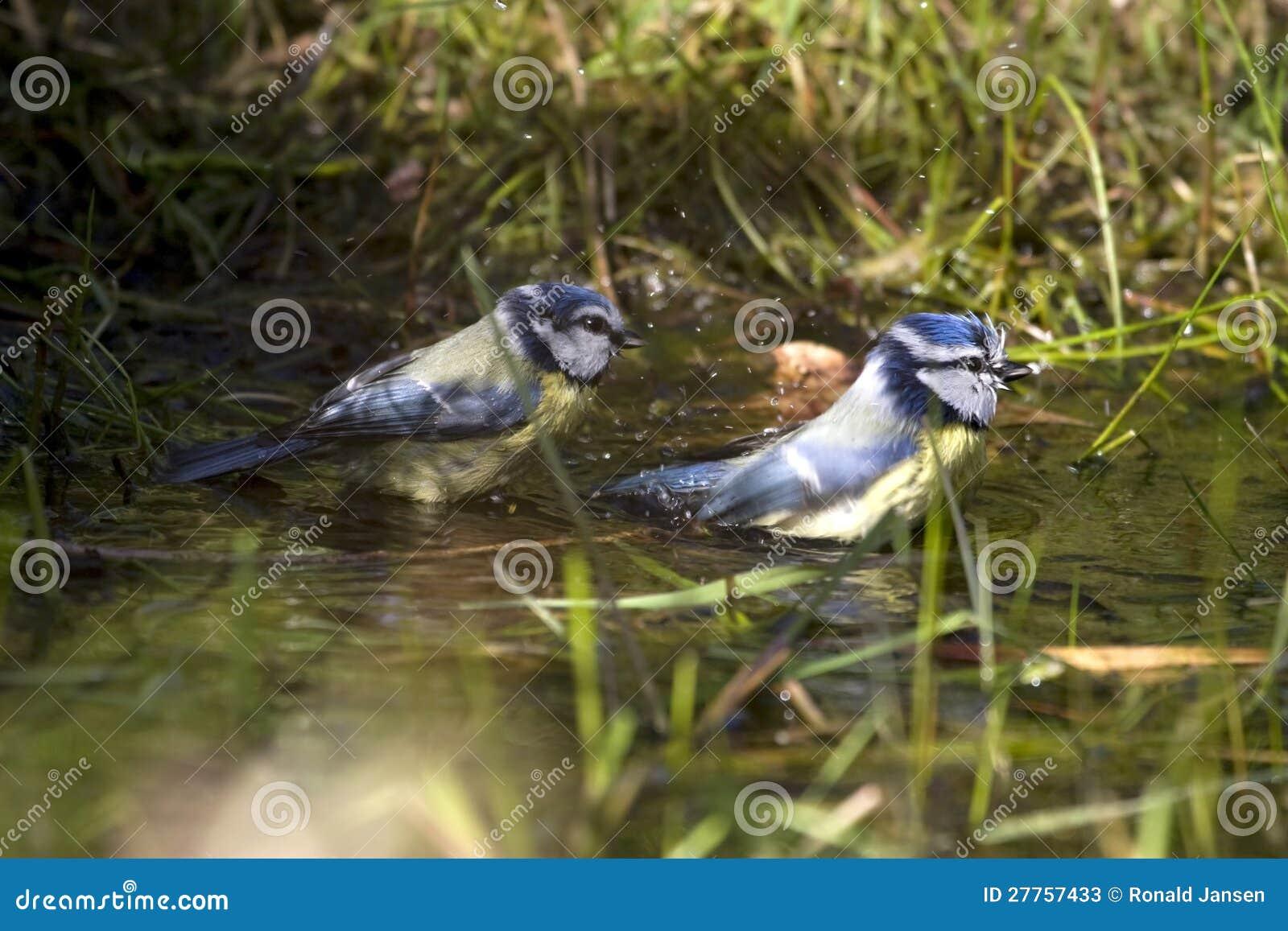 Les mésanges bleues prennent un bain