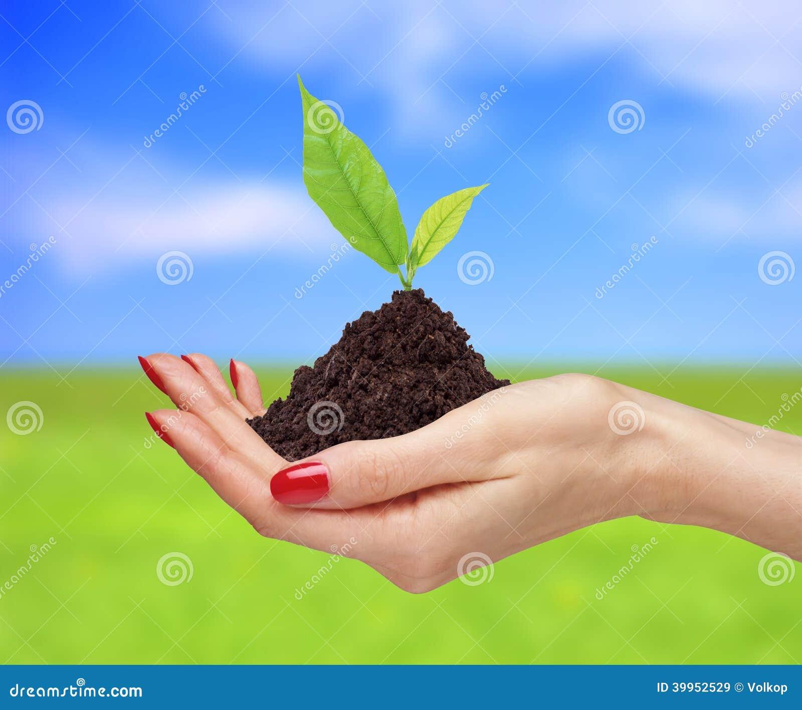 Les mains de femme tiennent la plante verte au-dessus du backgro lumineux de nature