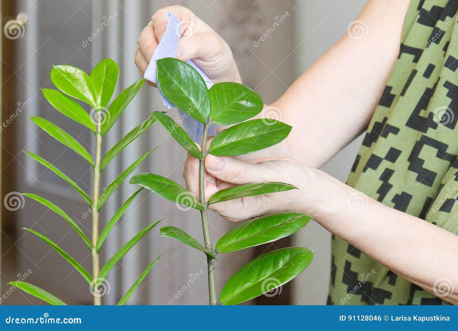 Les mains femelles prenant soin des fleurs d intérieur à sa maison essuyant la poussière du s d usine part