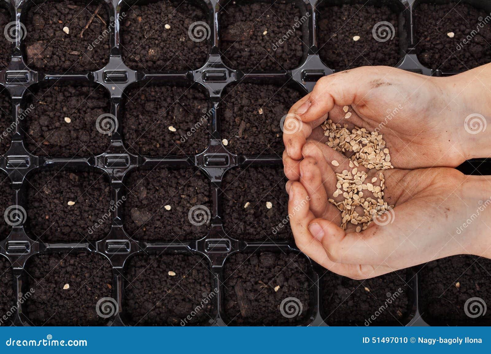 Les mains tenant le ressort sème prêt à semer