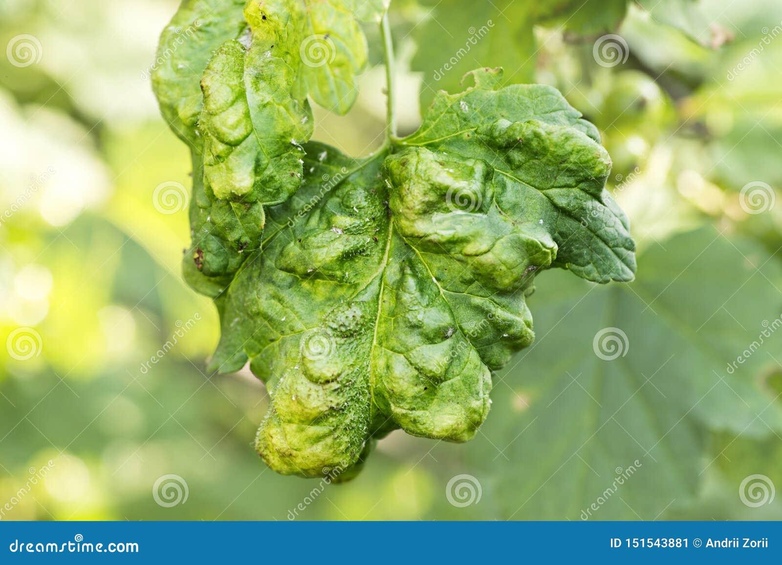 Les maladies fongiques des arbres fruitiers Deformans de Taphrina Feuilles des arbres fruitiers avec la maladie de boucle de feui