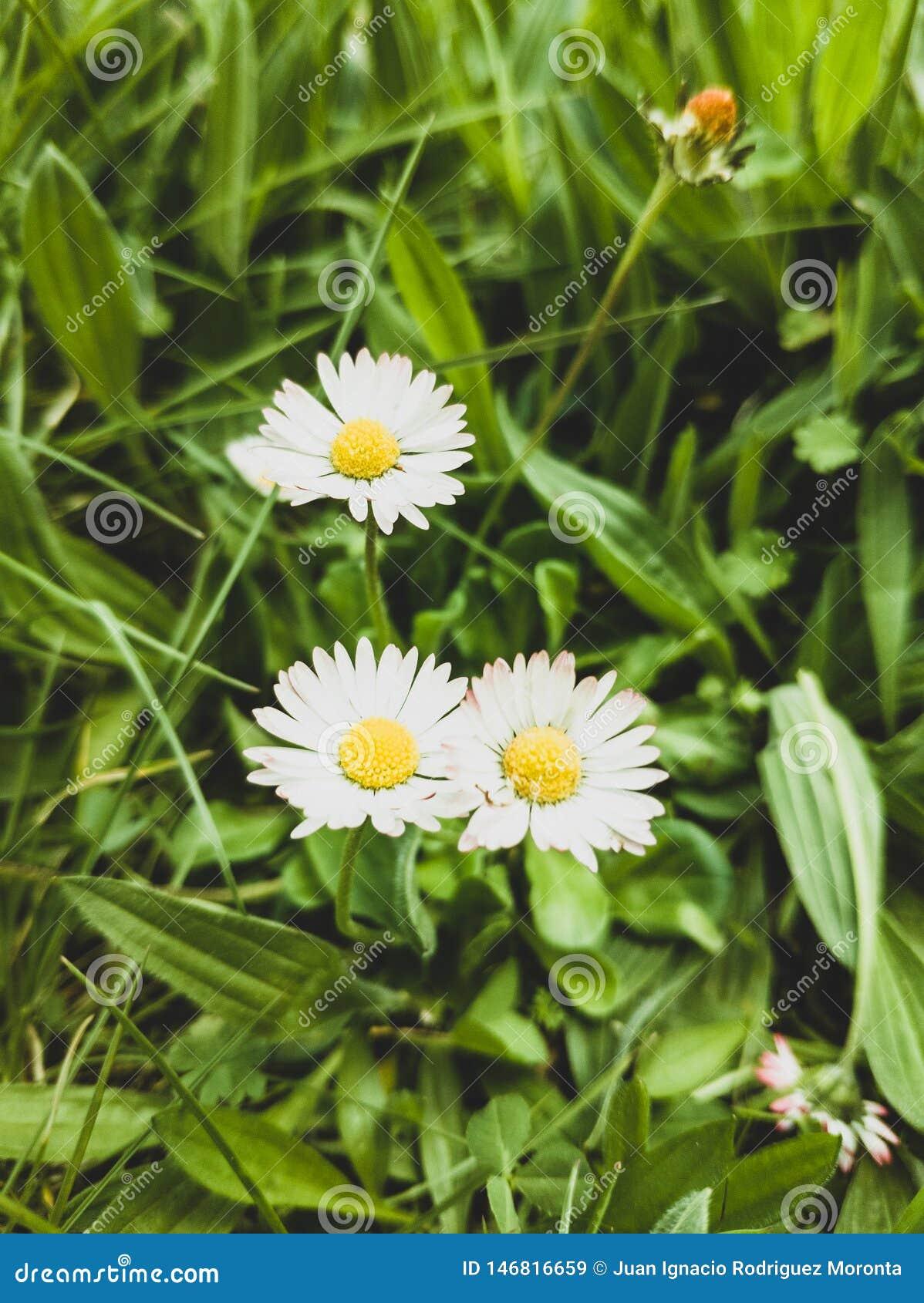Les marguerites ont fleuri sur un fond d herbe