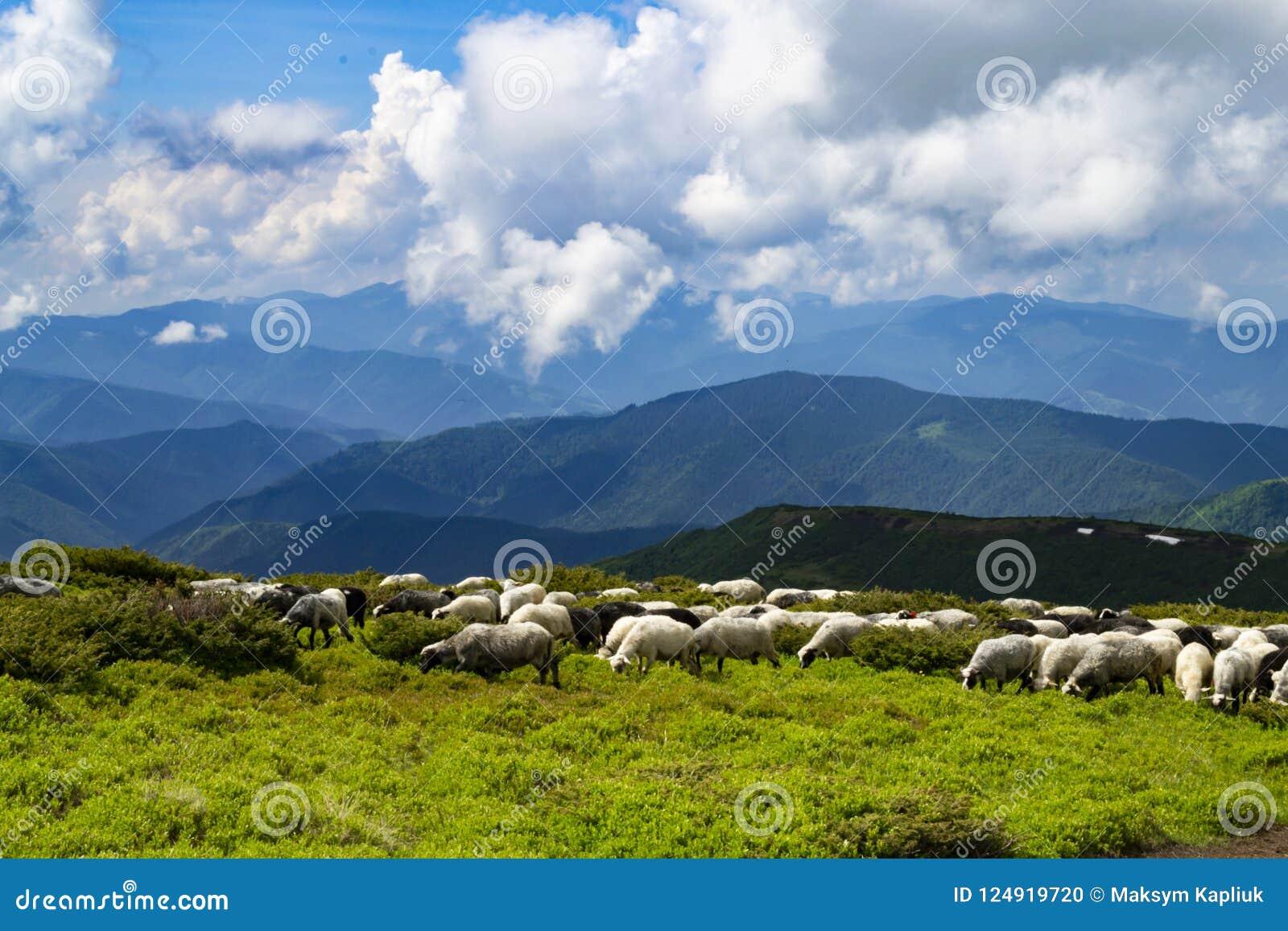 Les moutons, agneaux sur la montagne cultivent contre des champs d herbe verte